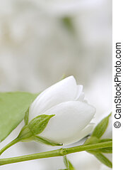 Wedding Background with White Jasmine Flowers - A romantic...
