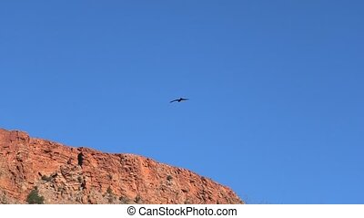 Wedge-tailed Eagle of Australia flies against the blue sky. Desert Park at Alice Springs near Mac Donnell Ranges in Northern Territory, Central Australia.