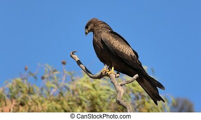 Wedge-tailed eagle, Aquila audax, is Australia's largest bird of prey, against the blue sky. Desert Park at Alice Springs in the Northern Territory, Central Australia.