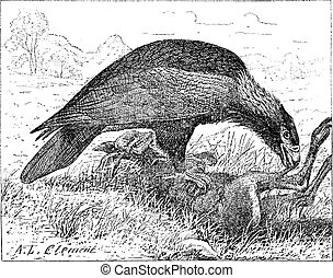 Wedge-tailed Eagle or Aquila audax, vintage engraving