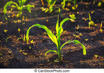 Weed control in corn crops, young maize plants rows in...