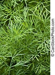 Weed dill green nature vegetarian food
