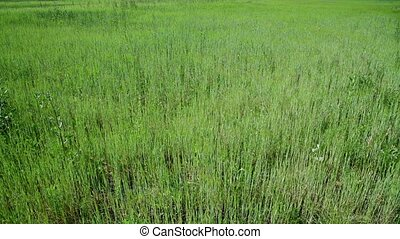 weed field with young cereal sprouts - weed field with an...