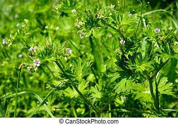 Weed Geranium dissectum is a nuisance to many farms