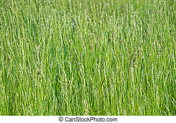 Weed sorghum - Sorghum halepense - grass which grows in...
