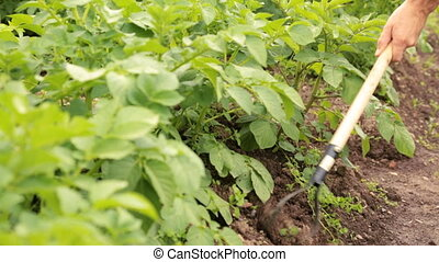 Weeding potato bed with chopper in the garden
