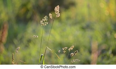 Weeds at sunset in the breeze