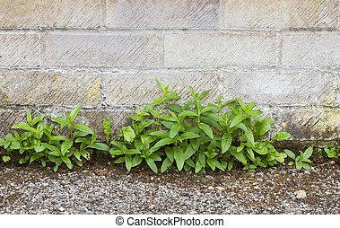 Weeds growing between wall and path