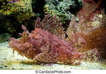 Weedy Scorpionfish (Rhinopias frondosa), animal life in the underwater