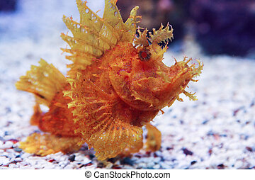 Weedy Scorpionfish Rhinopias frondosa , animal life in the underwater