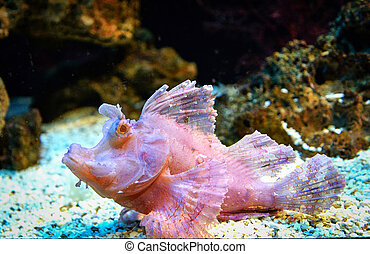 Weedy scorpionfish swimming fish tank underwater aquarium / Rhinopias frondosa leaf scorpion fish