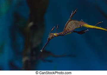 Weedy seadragon, Phyllopteryx taeniolatus, are red, yellow and purple with kelp-like parts used to help it blend in with the sea kelp around it.