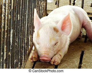 weefgaap (weefsprong, zuigen, na, jonge, slapende, varken