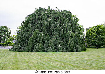 Weeping Beech Tree - A large weeping beech tree with hanging...