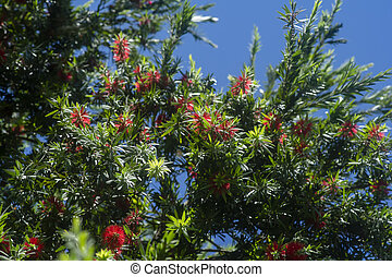 Weeping Bottle Brush flower.