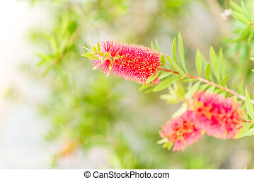 Weeping Bottle Brush pastel tone