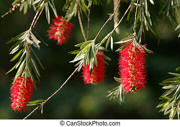 Weeping bottle brush red flower. Myrtaceae family