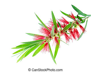 Weeping Bottle Brush tree
