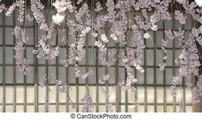 Weeping cherry blossoms - Lined weeping cherry blossoms in...