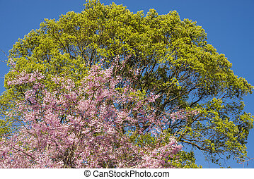 Weeping cherry blossoms - Pink weeping cherry blossoms in...