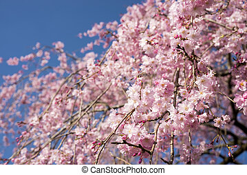 Weeping cherry blossoms - Pink weeping cherry blossoms under...