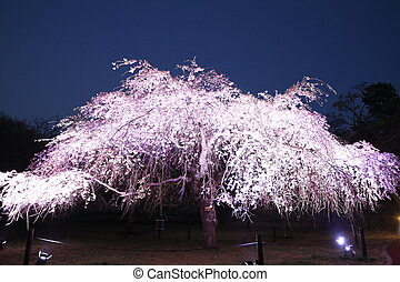 weeping cherry tree in Sakura no sato, Izu, Shizuoka, Japan...