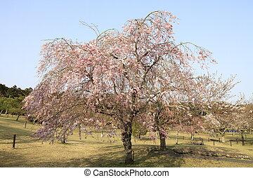 weeping cherry tree in Sakura no sato, Izu, Shizuoka, Japan
