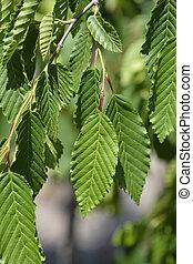 Weeping hornbeam - Latin name - Carpinus betulus Pendula
