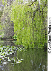 Weeping willow and reflections