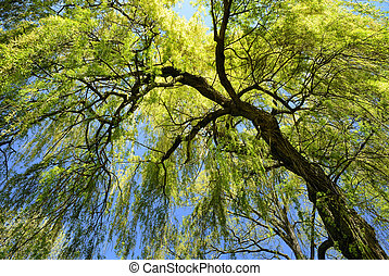 Weeping willow in spring - Worm's-eye view of a fresh green ...