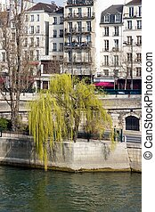 weeping willow in the spring