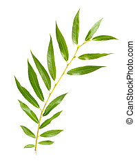 Weeping Willow Leaf - A tender green Weeping Willow leaf on...