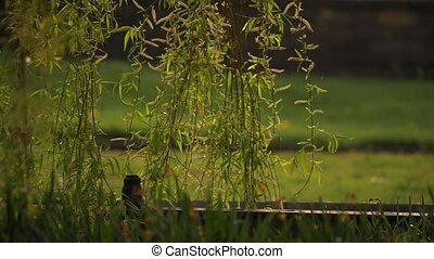 Weeping willow tree branches in park