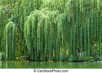 Huge Weeping Willow tree neear a lake.
