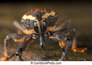 Weevil closeup with great eyes