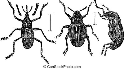 Weevil vintage engraving