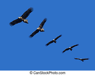 Wege-Tail Eagle Montage - Montage of wedge-tailed eagles in...