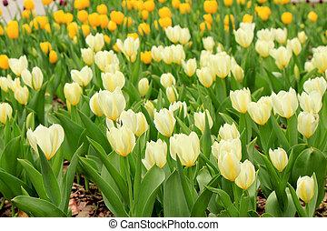 weiß gelb, tulpen, auf, der, feld