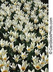 weiß gelb, tulpen