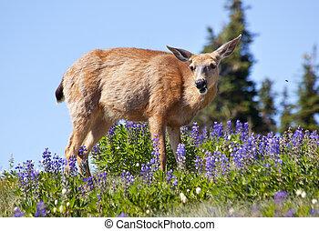 weiße endstück- rotwild, lila, lupine, fliegendes, biene, hurricaine, bergrücken, olympischer nationalpark, washington, wildflowers