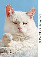 weiße katze, entspannen