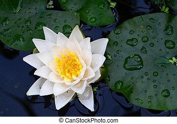 weiße lilie, auf, der, wasser