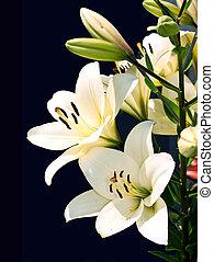 weiße lilie, auf, schwarz, hintergrund.