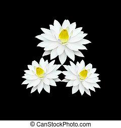 weiße lilie, auf, schwarzer hintergrund