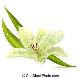 weiße lilie, freigestellt, hintergrund