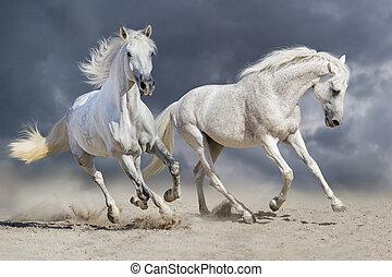 weiße pferde, laufen