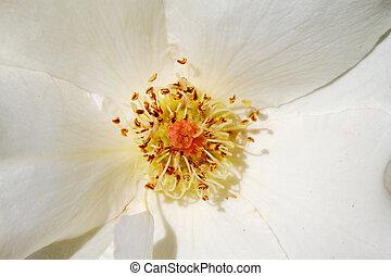 weiße rose, makro