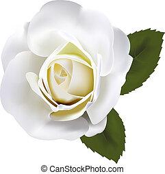 weiße rose, schöne