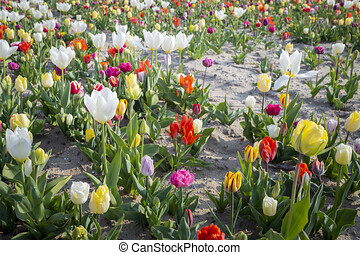 weiße tulpe, auf, sandig, feld, umgeben, per, andere, bunte, tulpen