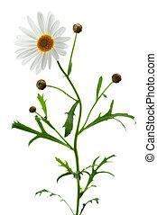 weißer hintergrund, gänseblumen